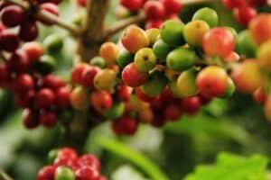 Kávové plody